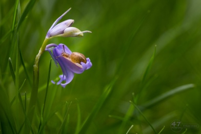 Bluebell and Baby Snail