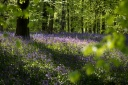 Bluebell Woods