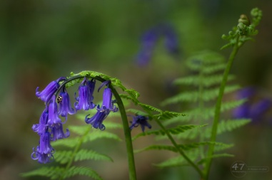 Bluebells, ferns and ladybird