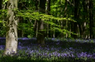 Beech and Bluebells