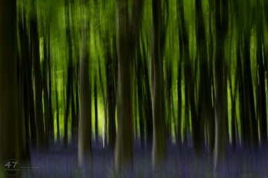 Impressions of a bluebell wood