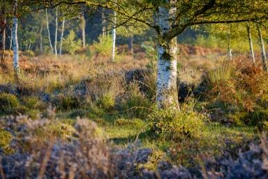Sunlight on Silver Birch