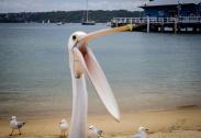 Pelican at Watson's Bay