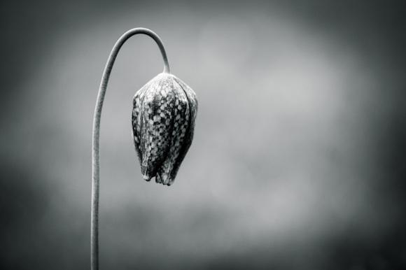 Snake's Head Fritillary