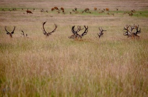 Resting Stags