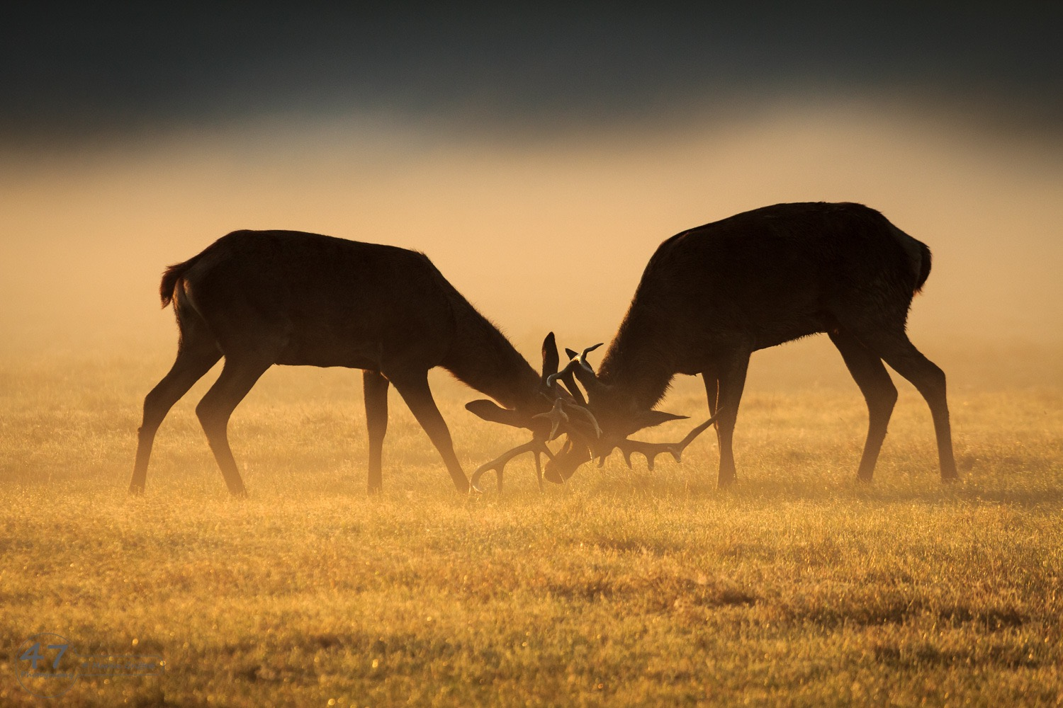Stags at sunrise
