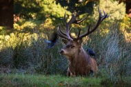 Stag and three Jackdaws