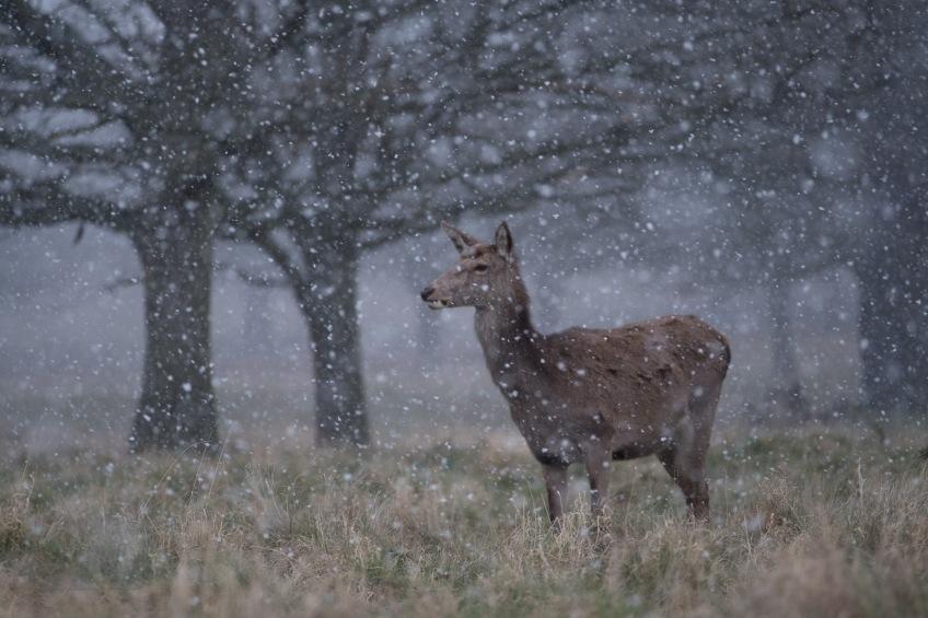 Red Deer Hind in Snow