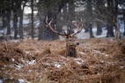 Red Deer stag seen in Richmond Park with snow falling
