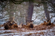 Red Deer Stags in Snow