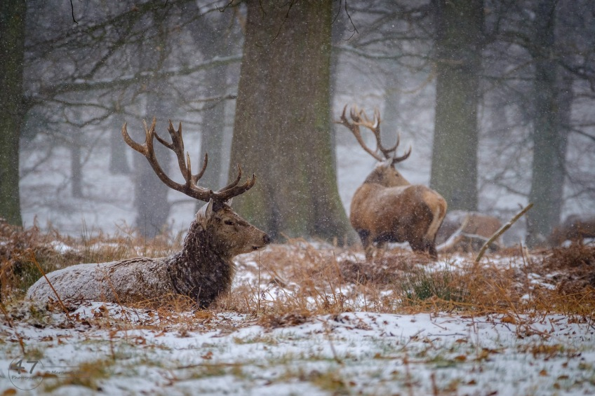 A red deer stag lying in bracken covered in snow.