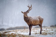 This stag has recently lost one of his antlers, the other will also drop off soon. With red deer, this happens naturally around the end of winter and they regrow though spring until July.