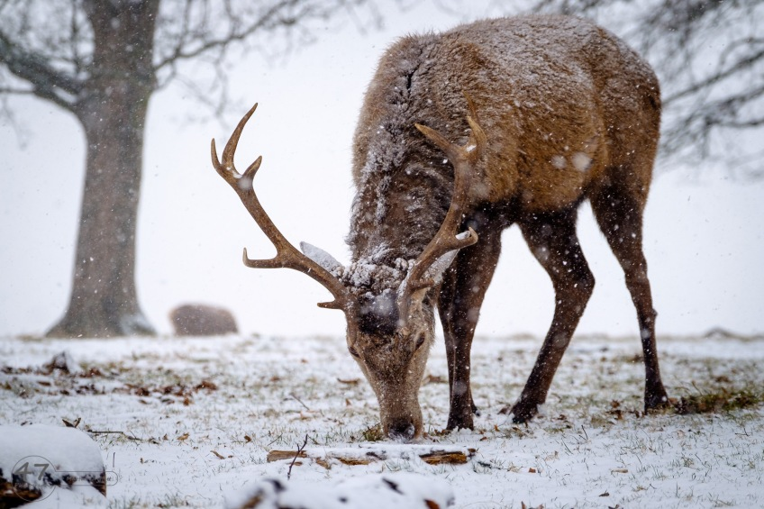 A red deer stag grazing on grass it can find beneath the snow.