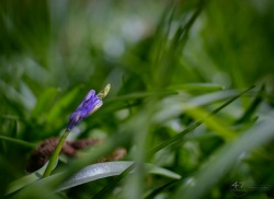 The First Bluebells