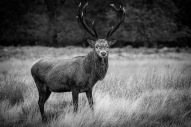 Red Deer Stag (mono)