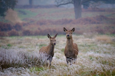 Red deer hind with calf.
